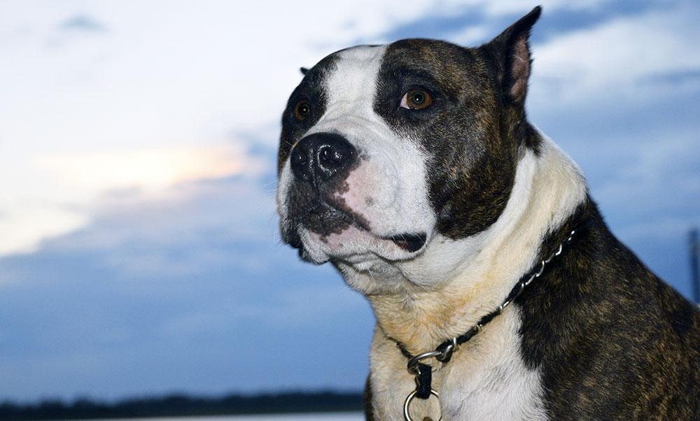Pitbull, aggressivo o affettuoso?