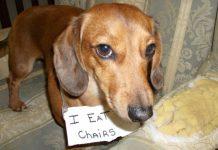Shaming Dog, il sito dei cani che si vergognano dopo un guaio