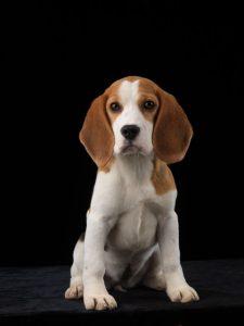 Allevare Beagle: intervista ad Alberto Calbucci